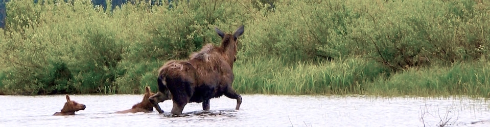 Moose and two Calves on the Bowron River